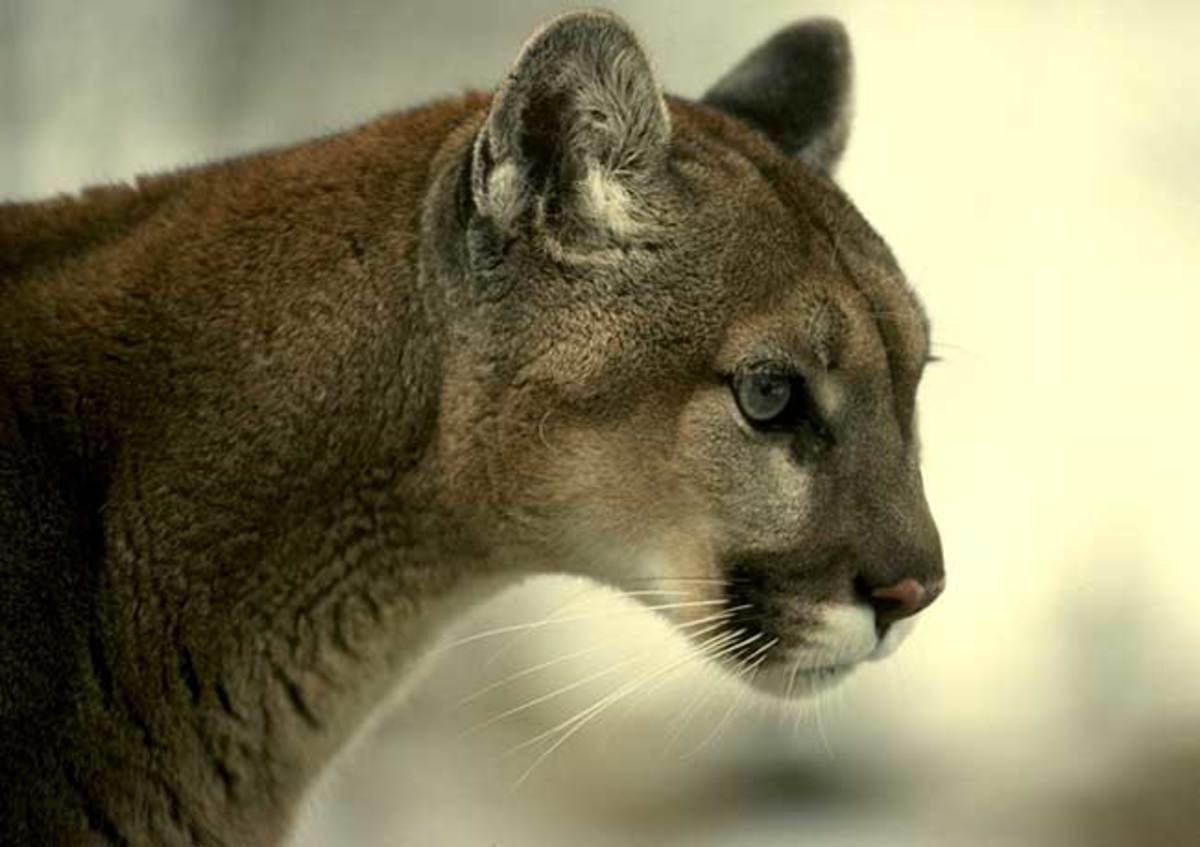 Cougars in the North