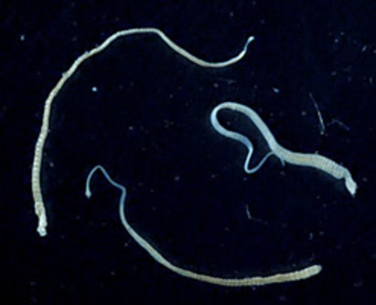 Adult Tapeworms