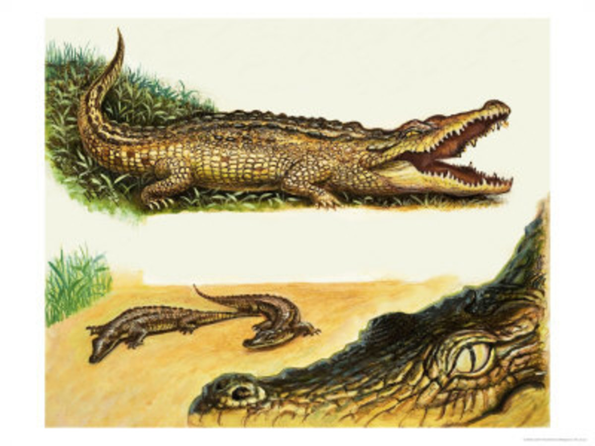 Crocoile Family