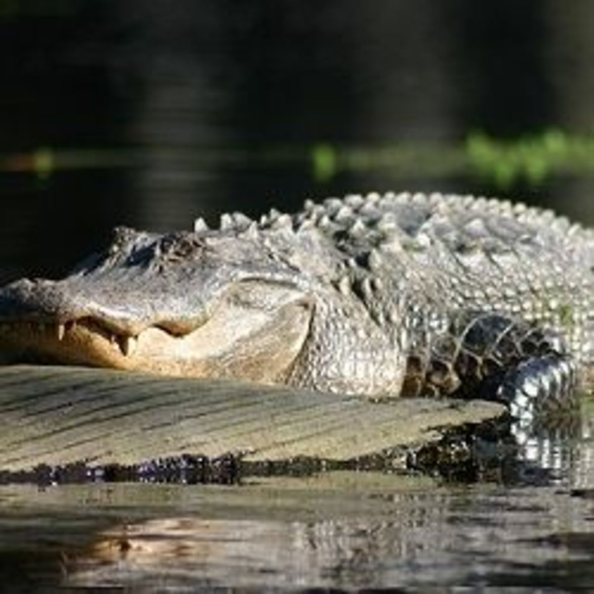 Alligator in a Swamp