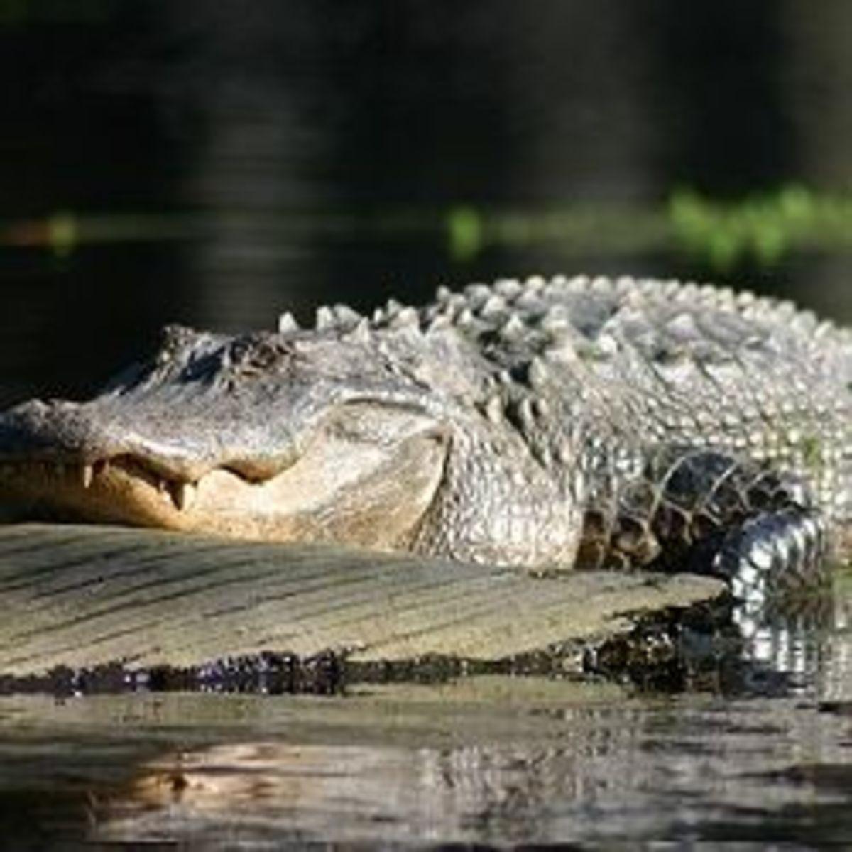 Alligator in a Swamp