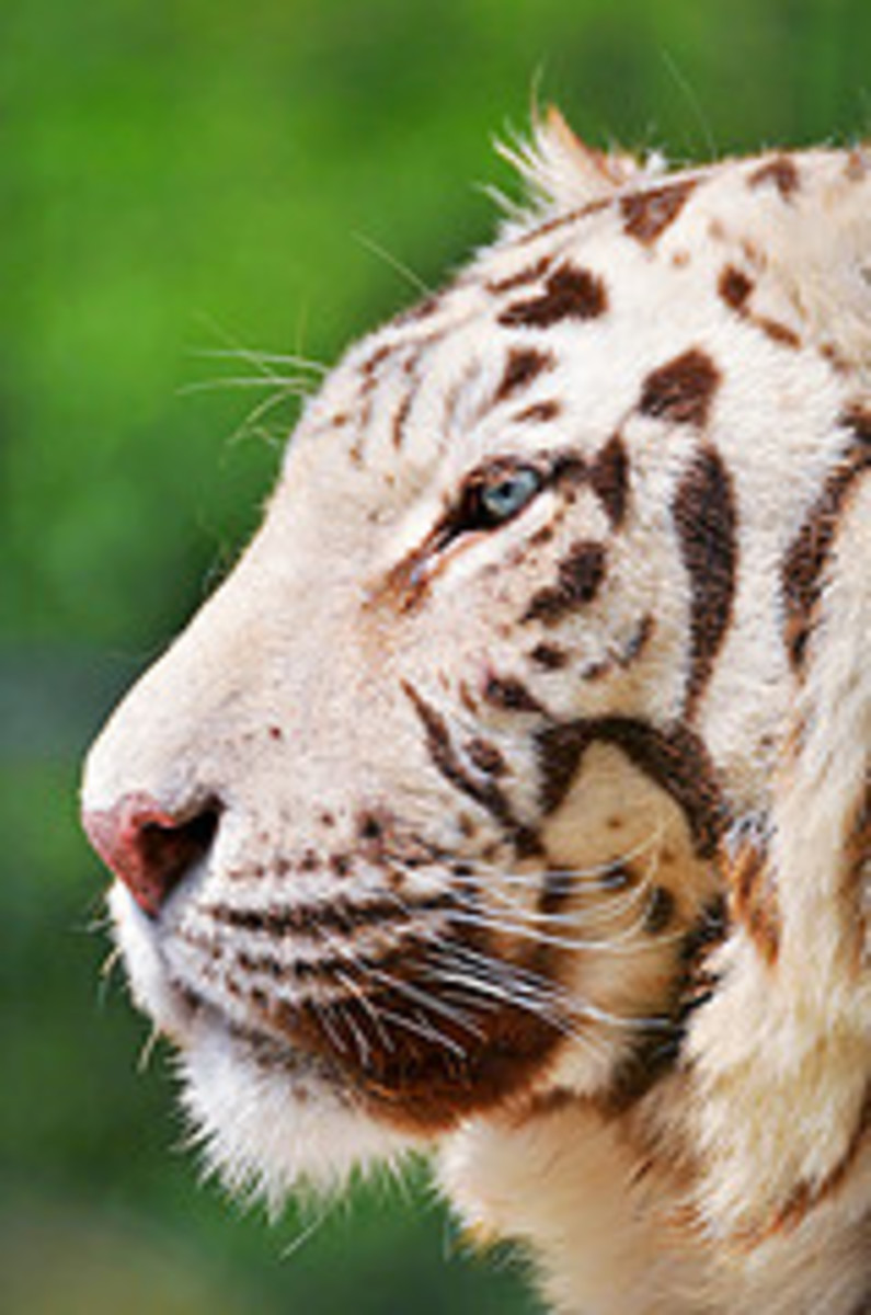 White Tiger Breeding is Not Conservation