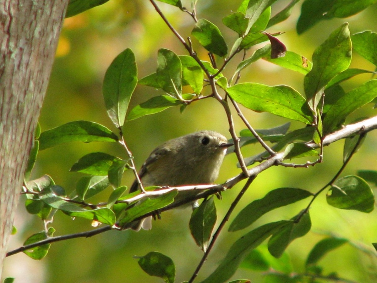 Kinglets are fun to watch as they flit among the foliage searching for tiny insects.