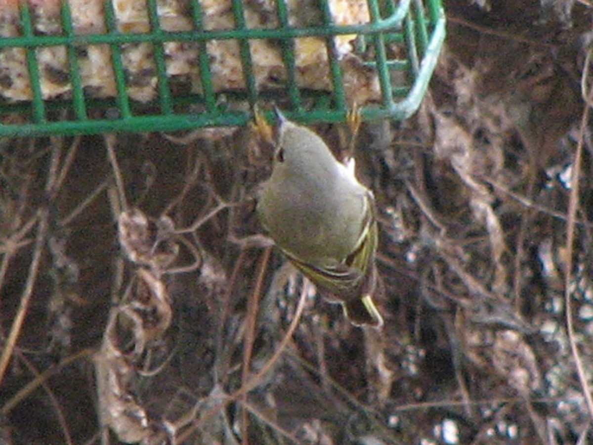 Kinglets love suet and this wire feeder hold a suet block perfectly.