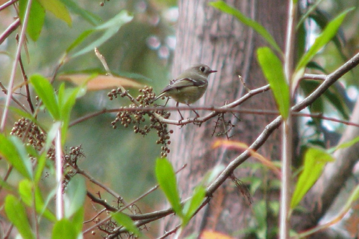 Kinglets feed on winter berries (such as poison ivy seen here) and insects.