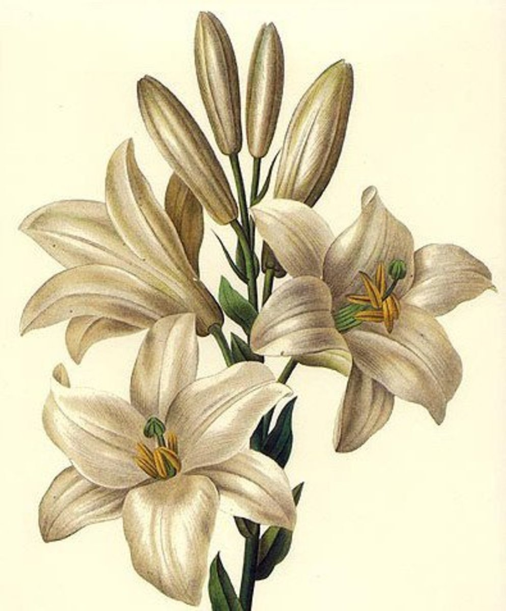 White lilies image