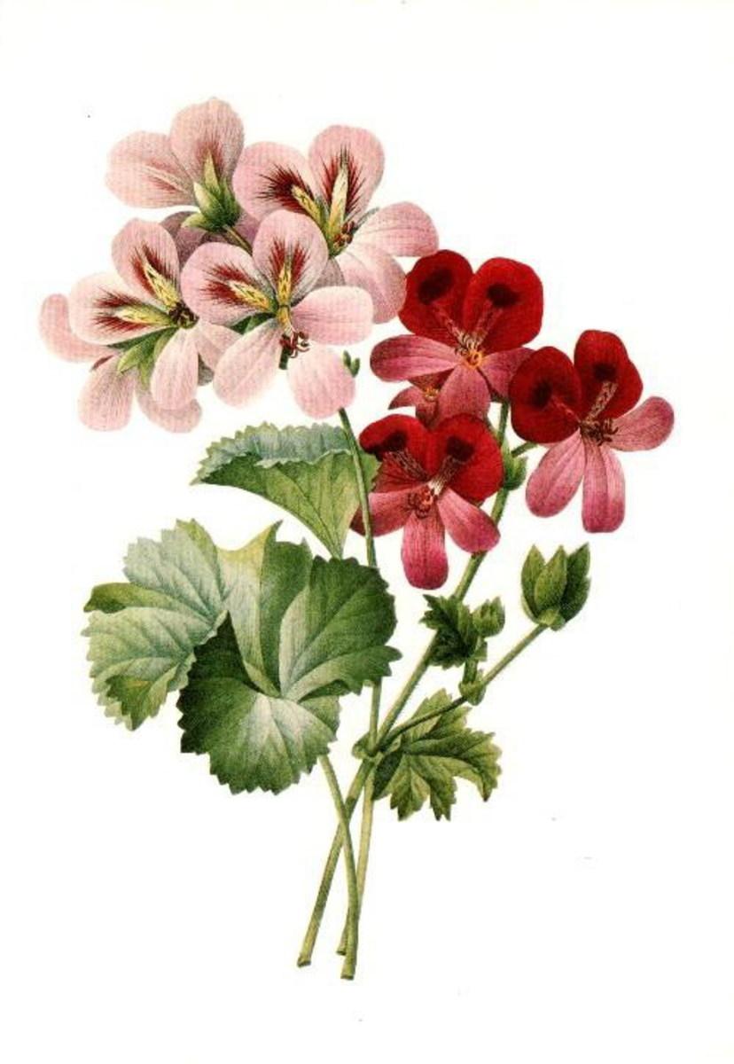 Geraniums clip art