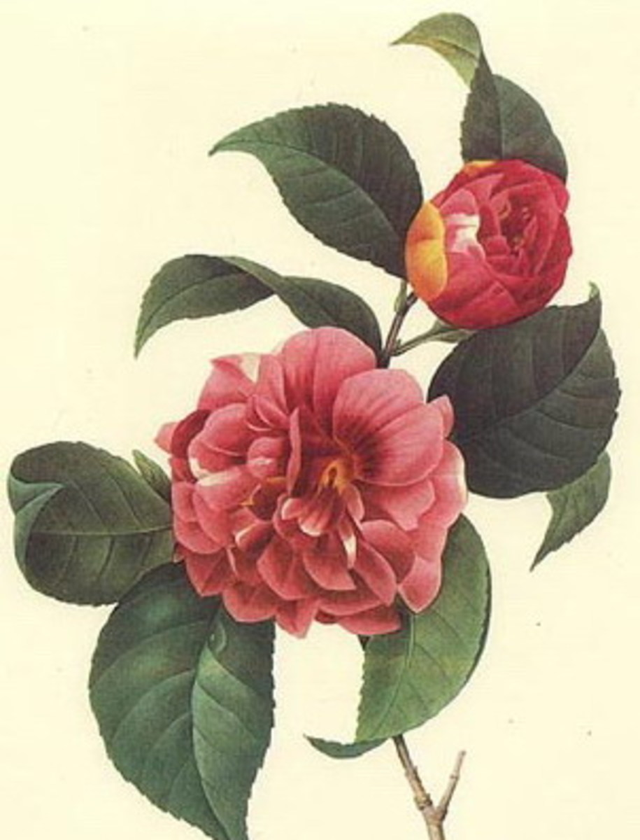 Camellias clipart