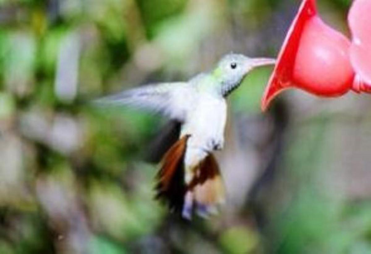 hummingbirds-of-winter