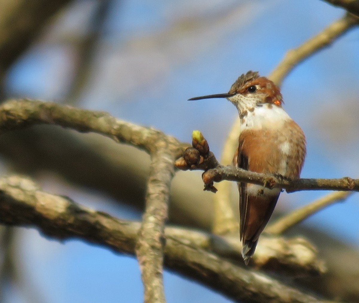 This immature male Rufous spent the winter of 2016-17 in our Covington yard. By the time he left he had molted into his adult plumage.