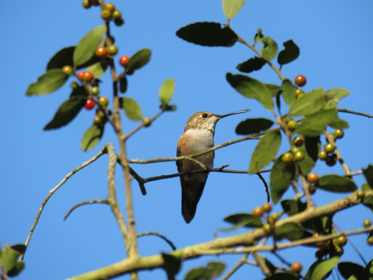 Rufous hummingbirds, such as this female, often spend the winter in Southeastern Louisiana.