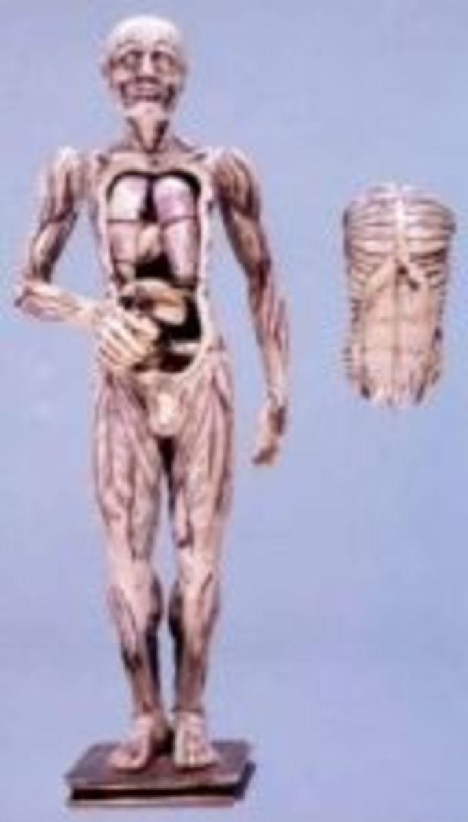 anatomy-models