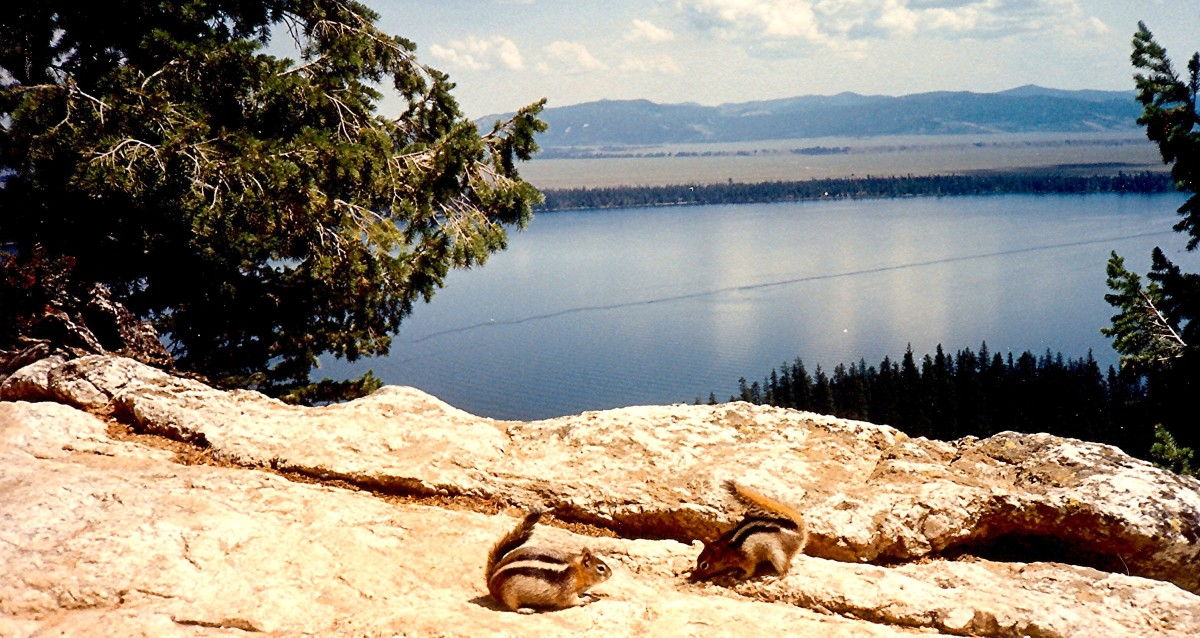These are ground squirrels at Inspiration Point.