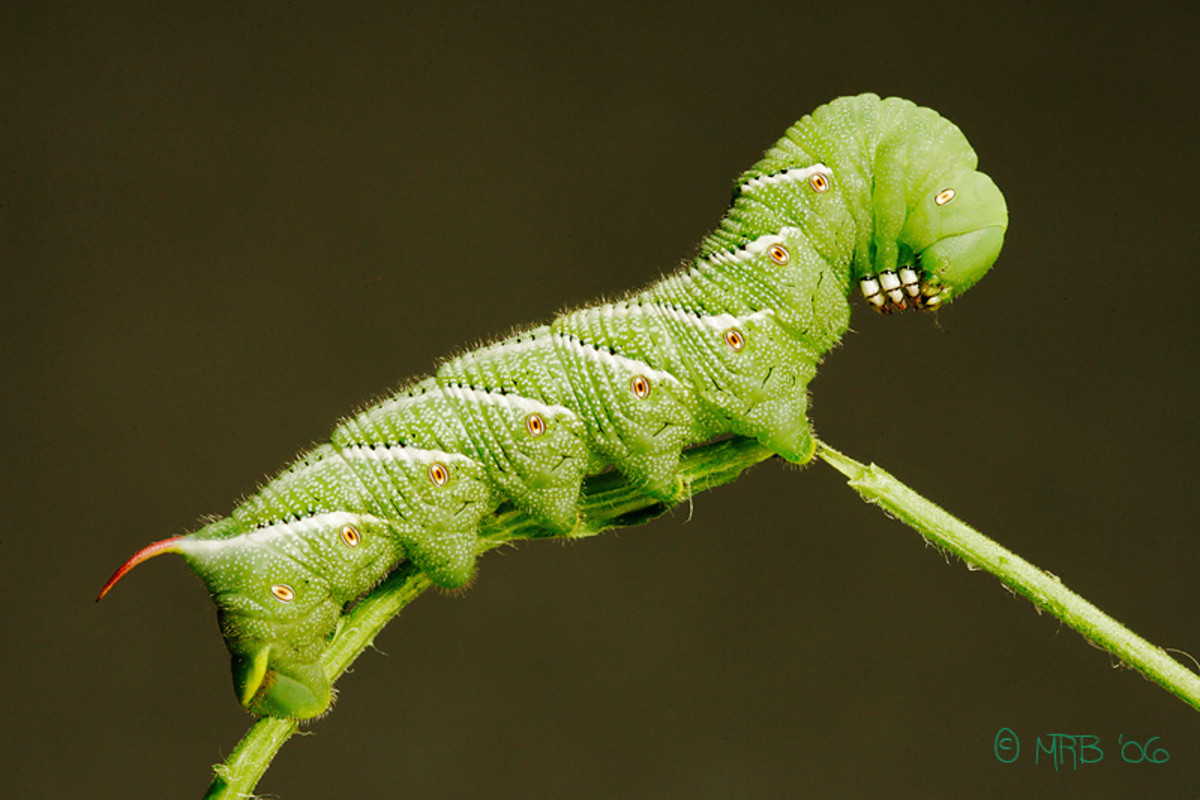 Tomato Plant Pest Hornworm - 3 Tips to get Rid of Tomato Plant Pests