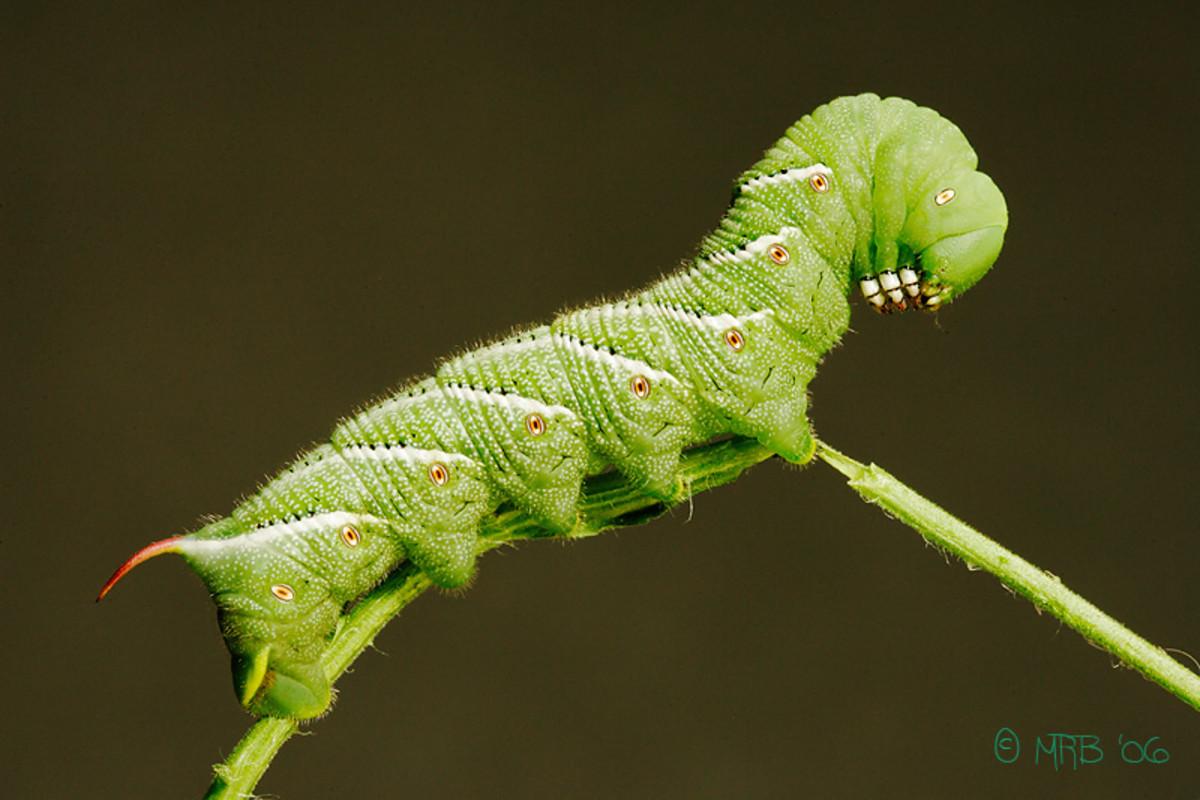 tomato-plant-pest-hornworm