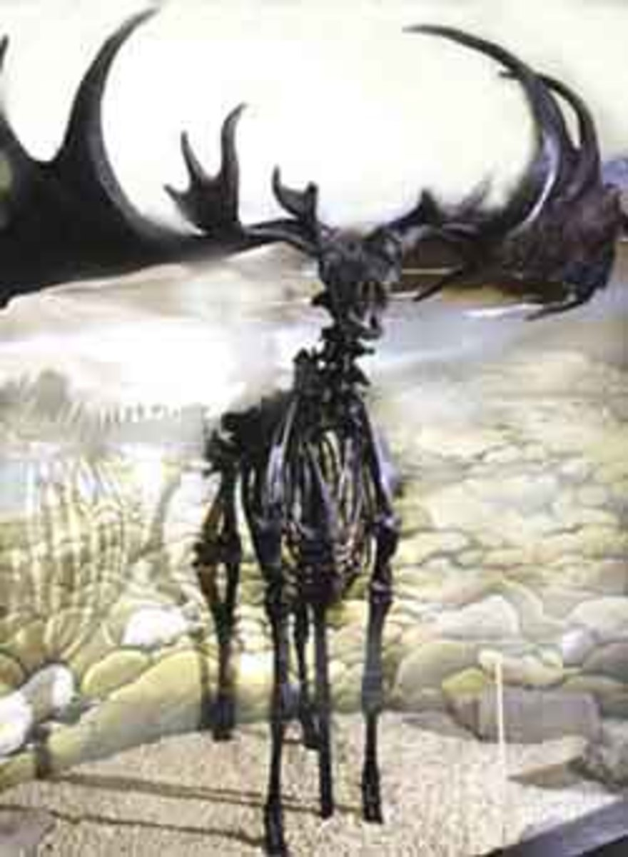 was irish giant irish deer the largest deer ever to live