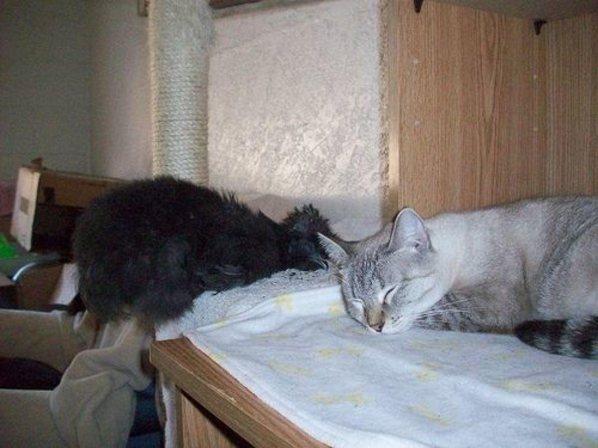 Indoor Chicken Sleeping with Cat