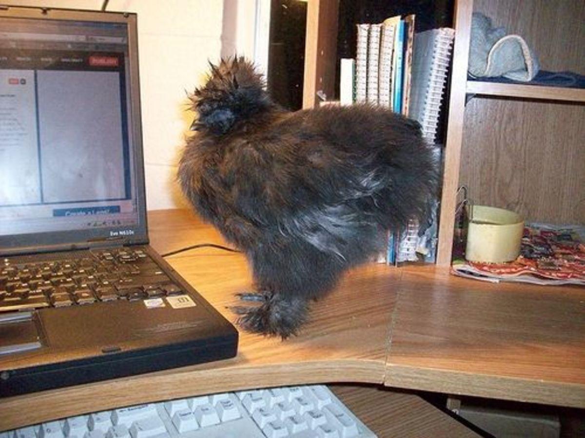 House Chicken on Desk