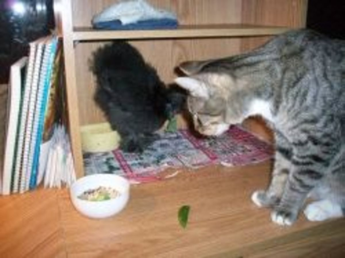 Marin the cat wants a bite of the chicken's food