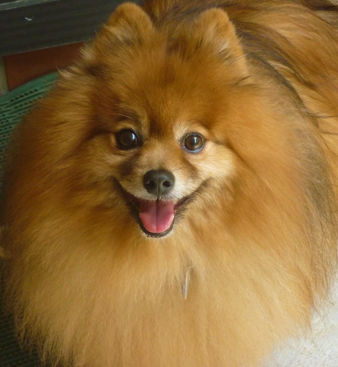 Pomeranian dog Skippy