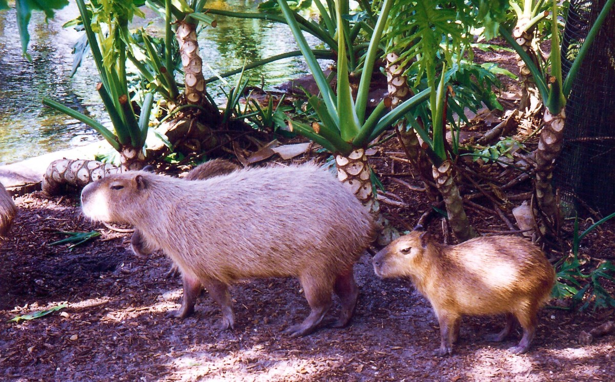 Capybara  at Cypress Gardens