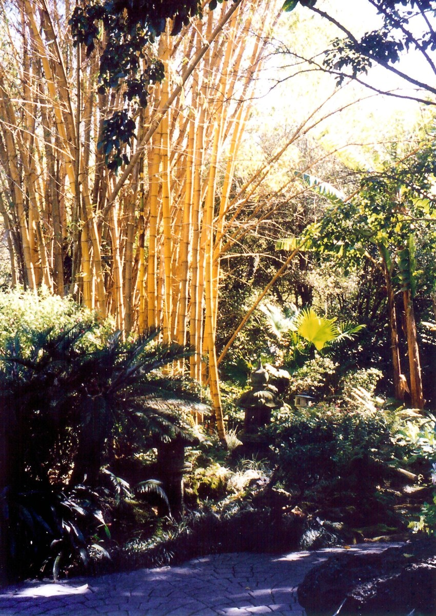 Beautiful stand of bamboo in Cypress Gardens