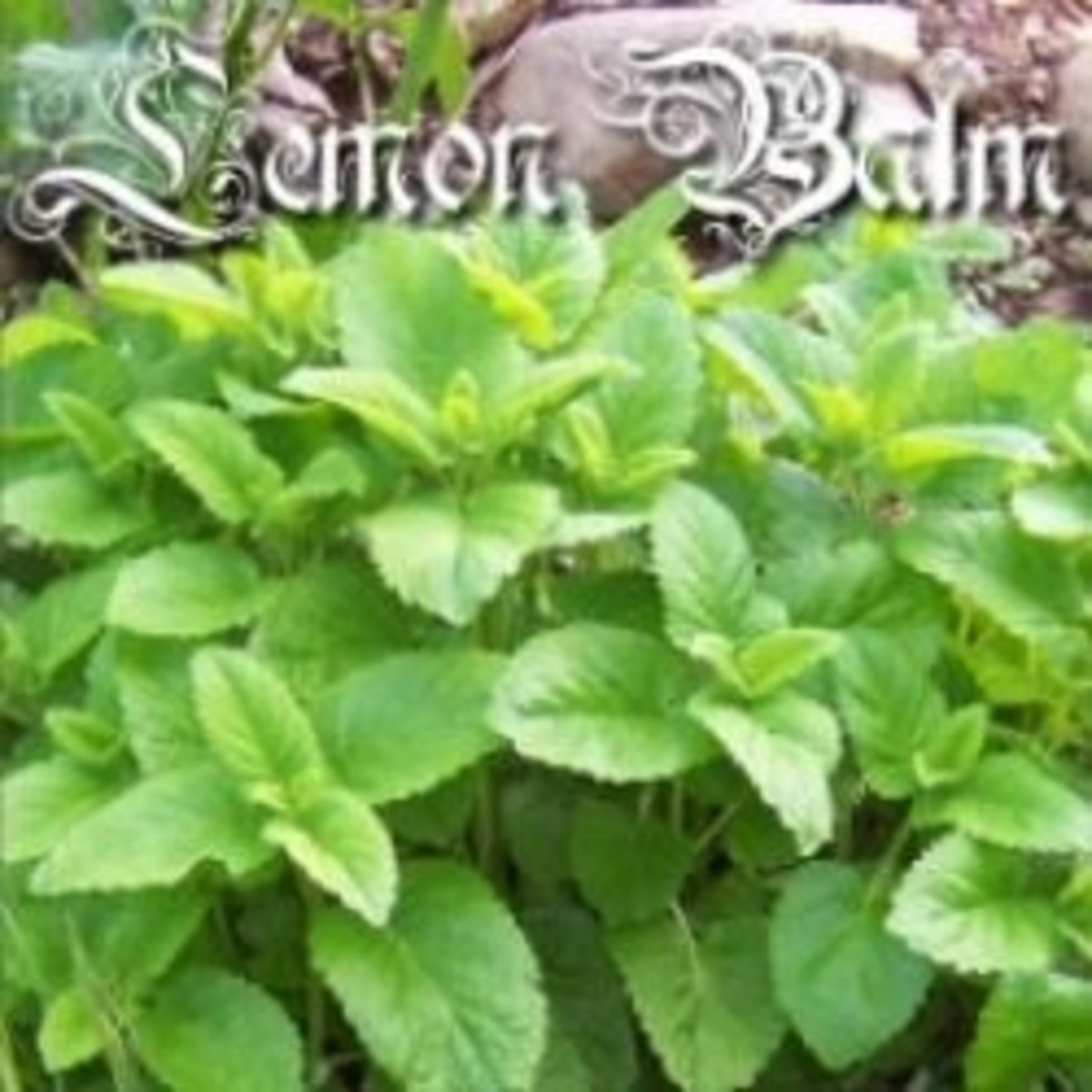 Lemon Balm Herb Uses
