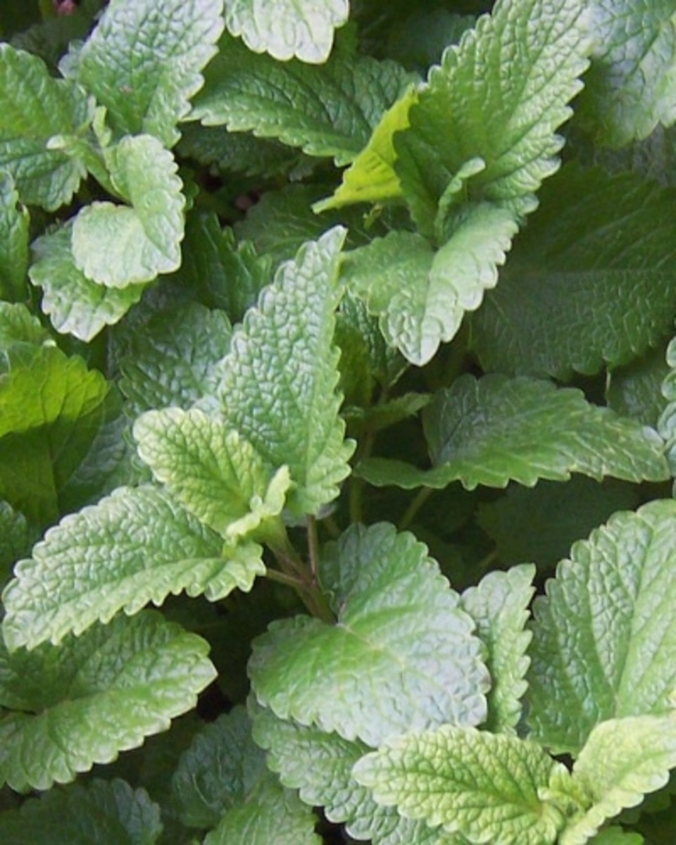 Lemon balm grows in sun or shade.