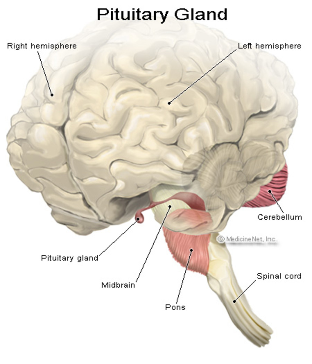 Pituitary Gland Natural Cure
