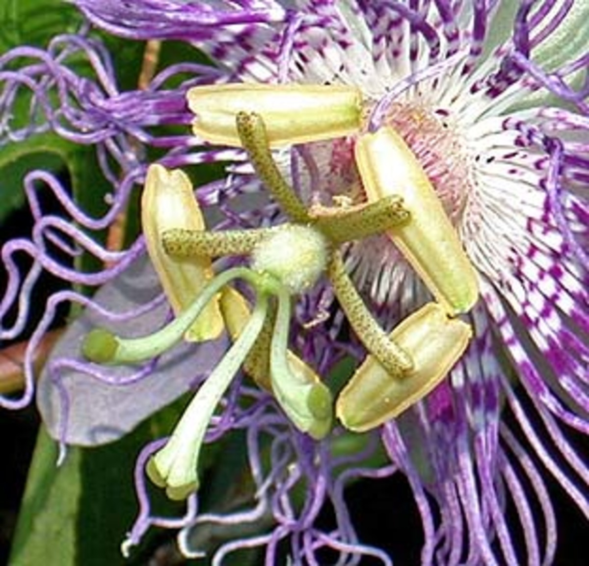 Passiflora, beautiful flower for healing nerves