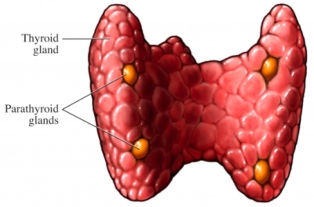 Thyroid gland posterior