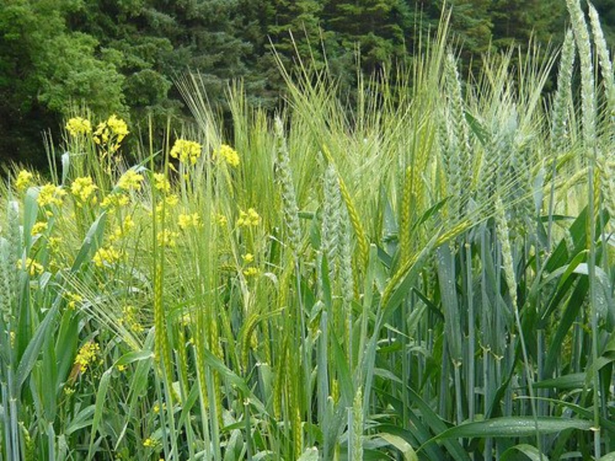The tares look beautiful. They are yellow and look like wheat