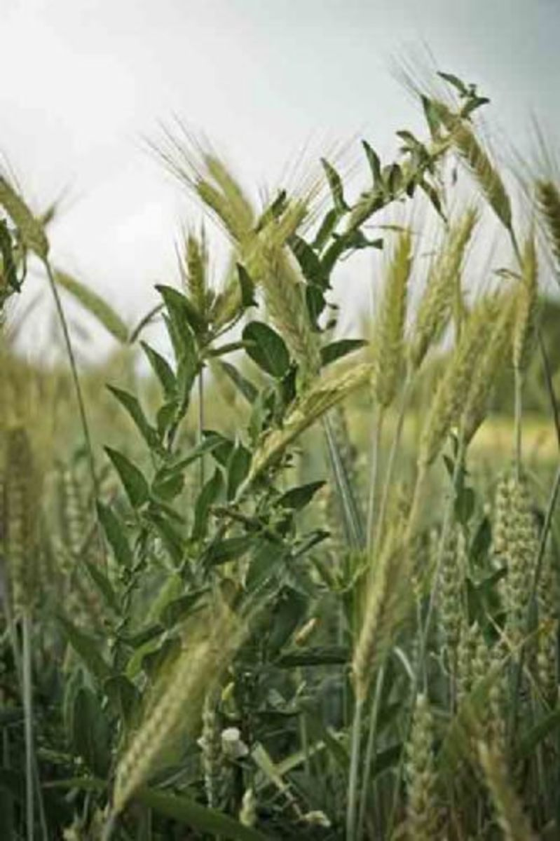 Wheat, tares, and weeds