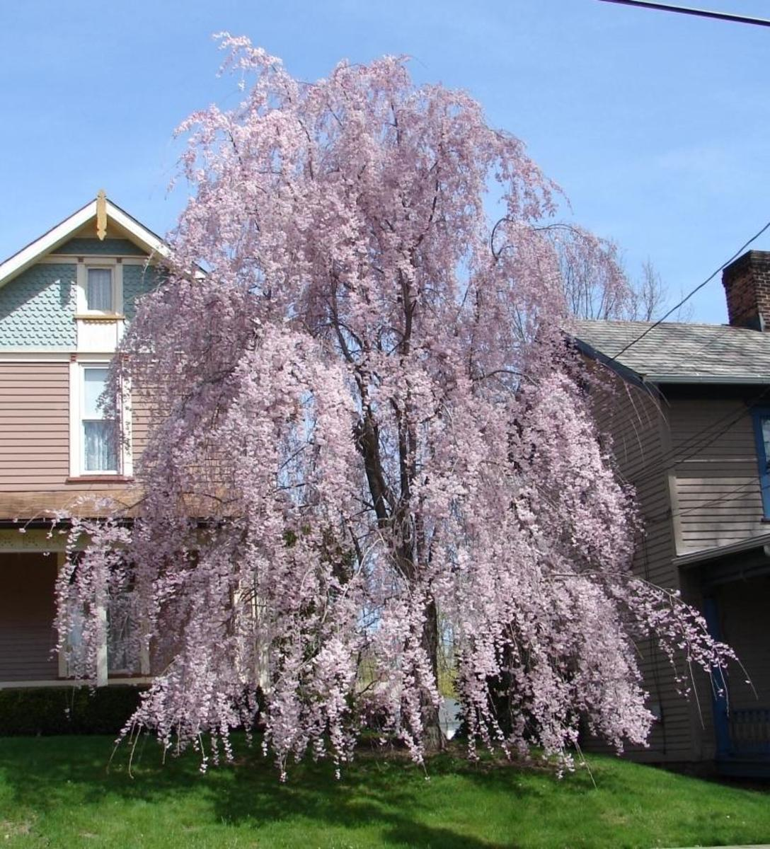 How to be successful with your ornamental tree landscaping for Small ornamental weeping trees