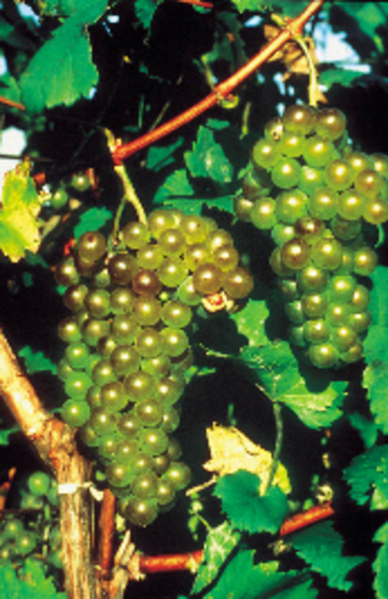 Chardonel grapes available at millernurseries.com