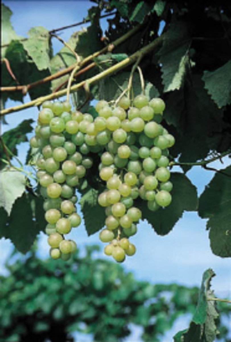 how to start growing grapes