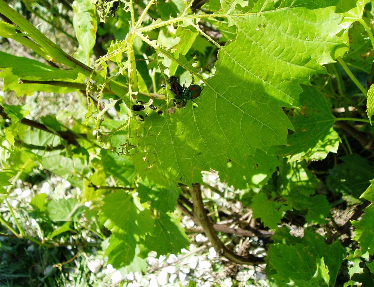 Japanese Beetles eating grape leaves.  Photo by Charlotte Gerber.