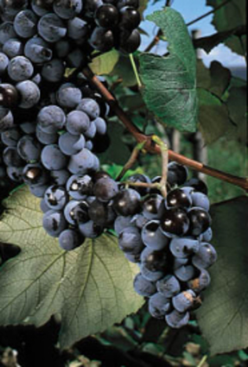 Concord grapes available at millernurseries.com