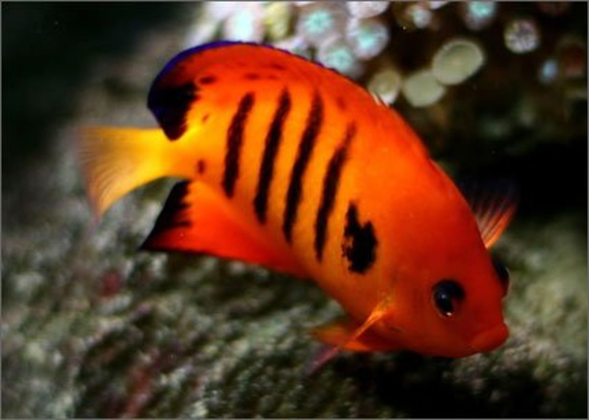 Flame Angelfish : Facts On The Stunning Flame Angelfish