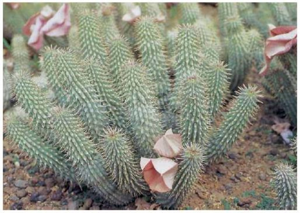 The Hoodia plant is a type of cactus.