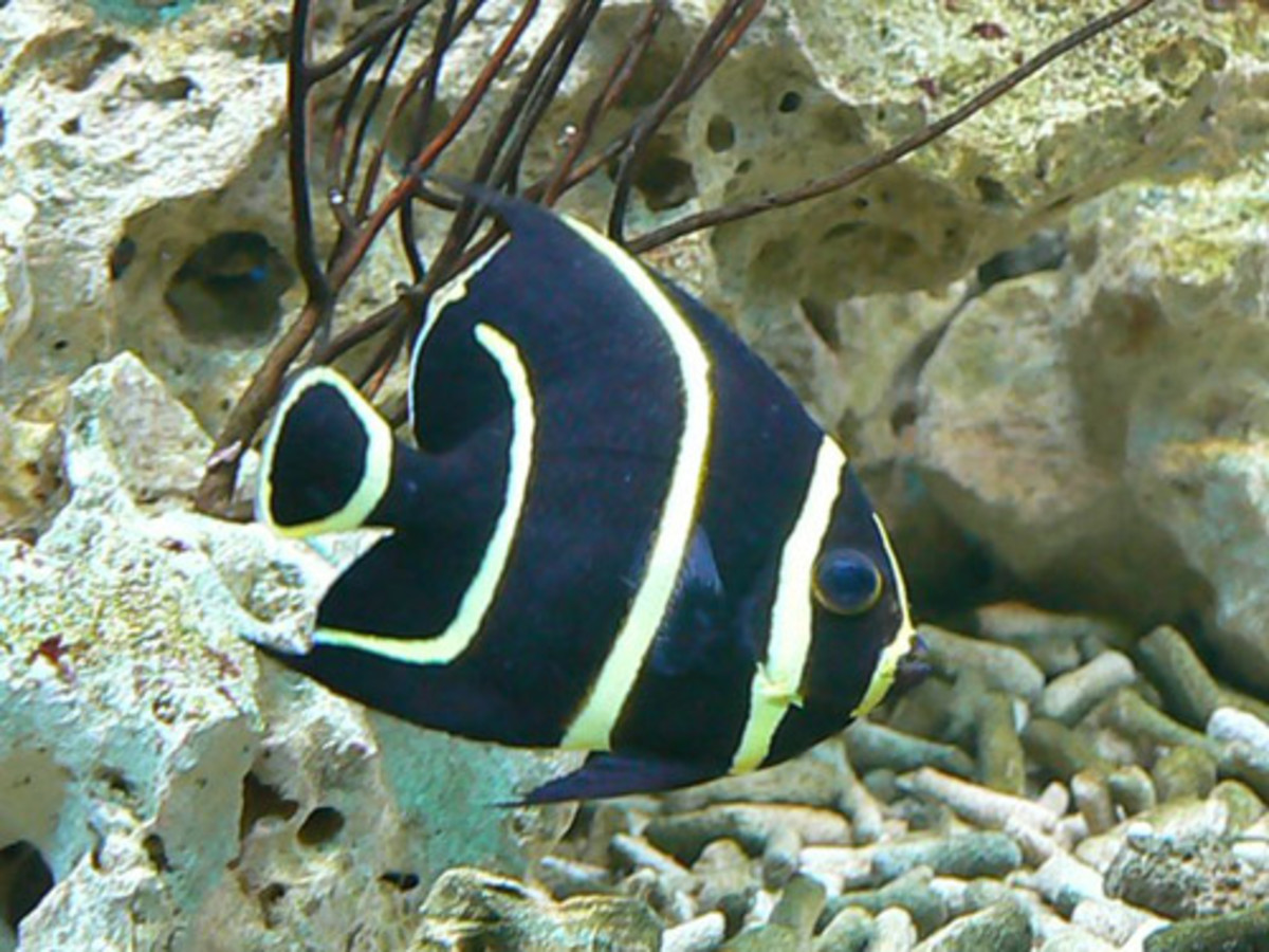 French Angelfish : Care Guide On The French Angelfish