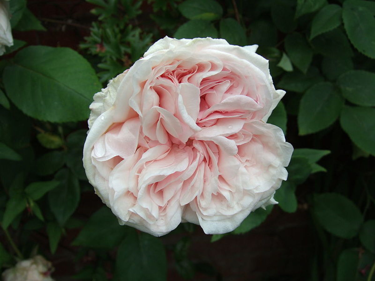 A Rose flower from the Climbing Souvenir de la Malmaison sub-type. This photo is in the public domain.