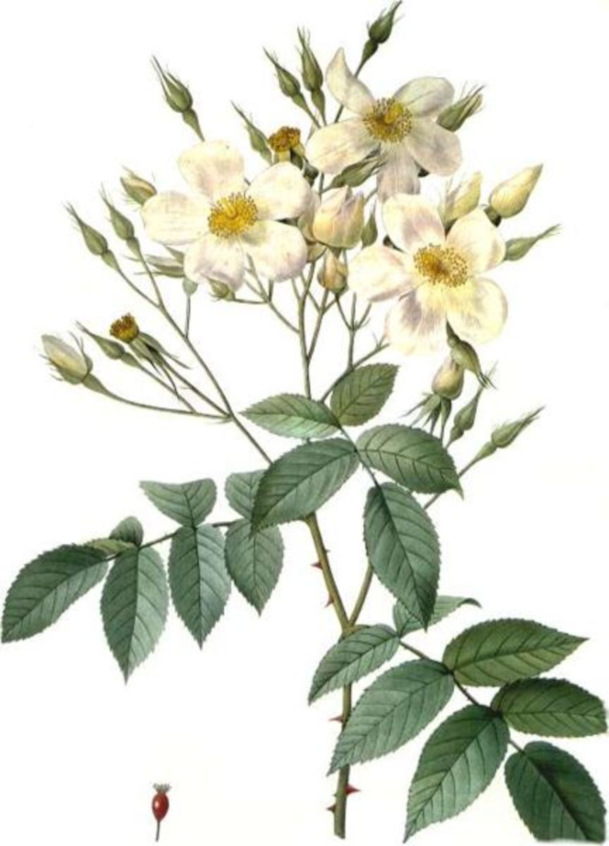 A Rose Moschata. This image is in the public domain.
