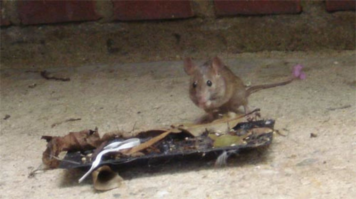 get-rid-of-mice-in-house