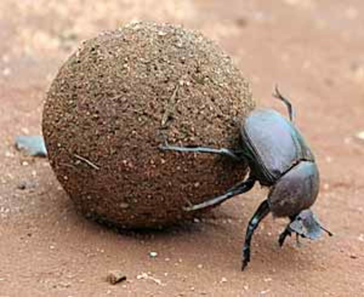 Weird Animals - the Dung Beetle