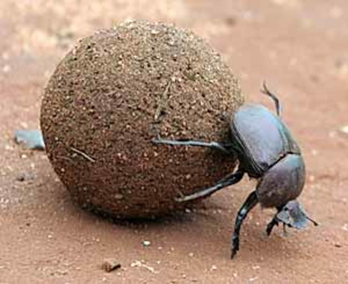 Weird Animals - the Dung Beetle