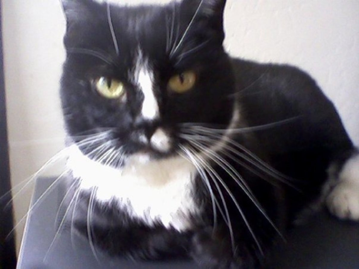 I will draw a picture of my cat Bobby.