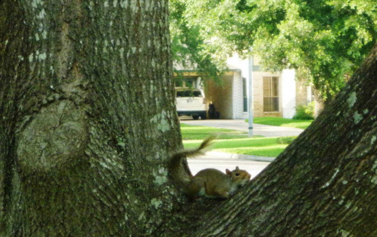 Taking it easy in one of our oak trees
