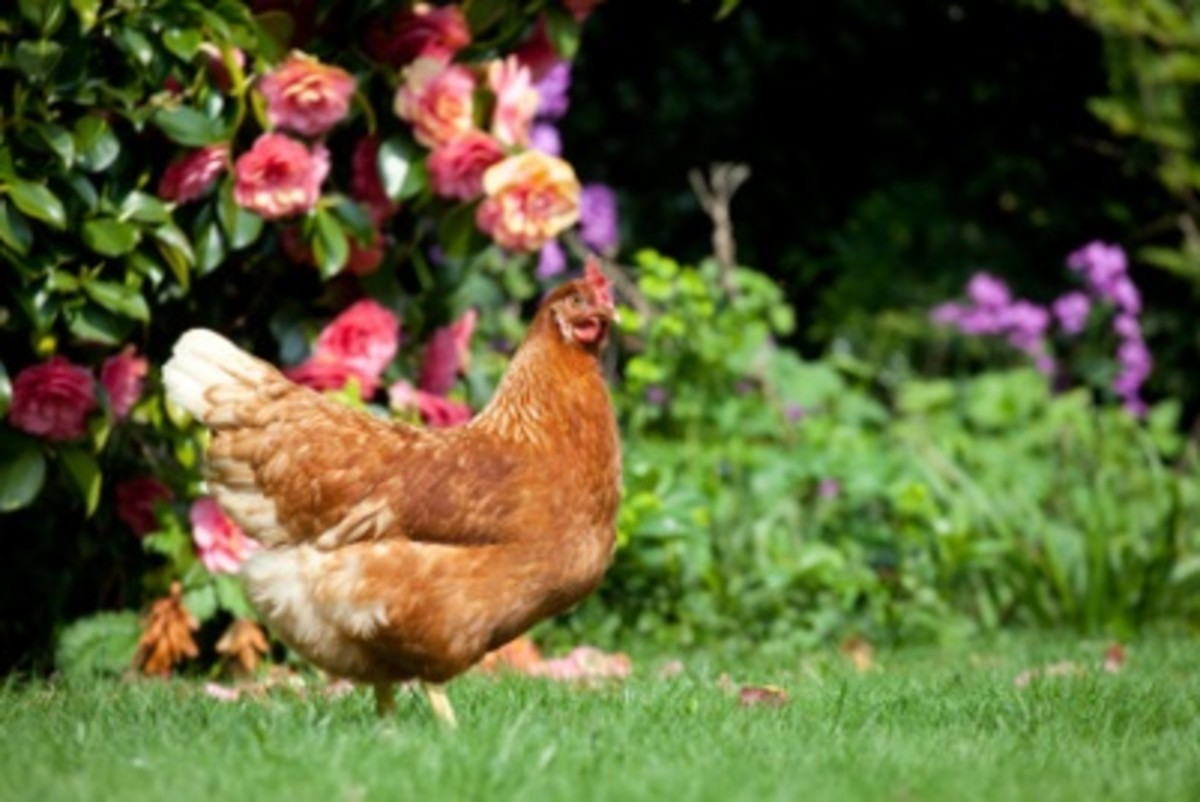 Brown Hen On Lawn