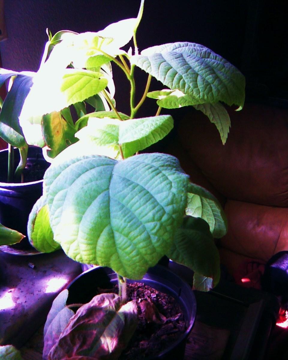 Baby Kiwi plant
